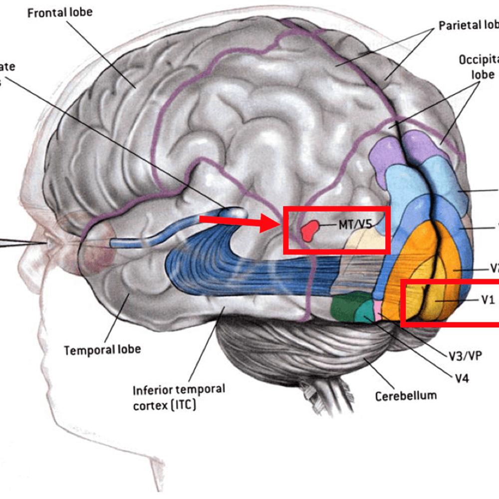 Grafik: Das Gehirn