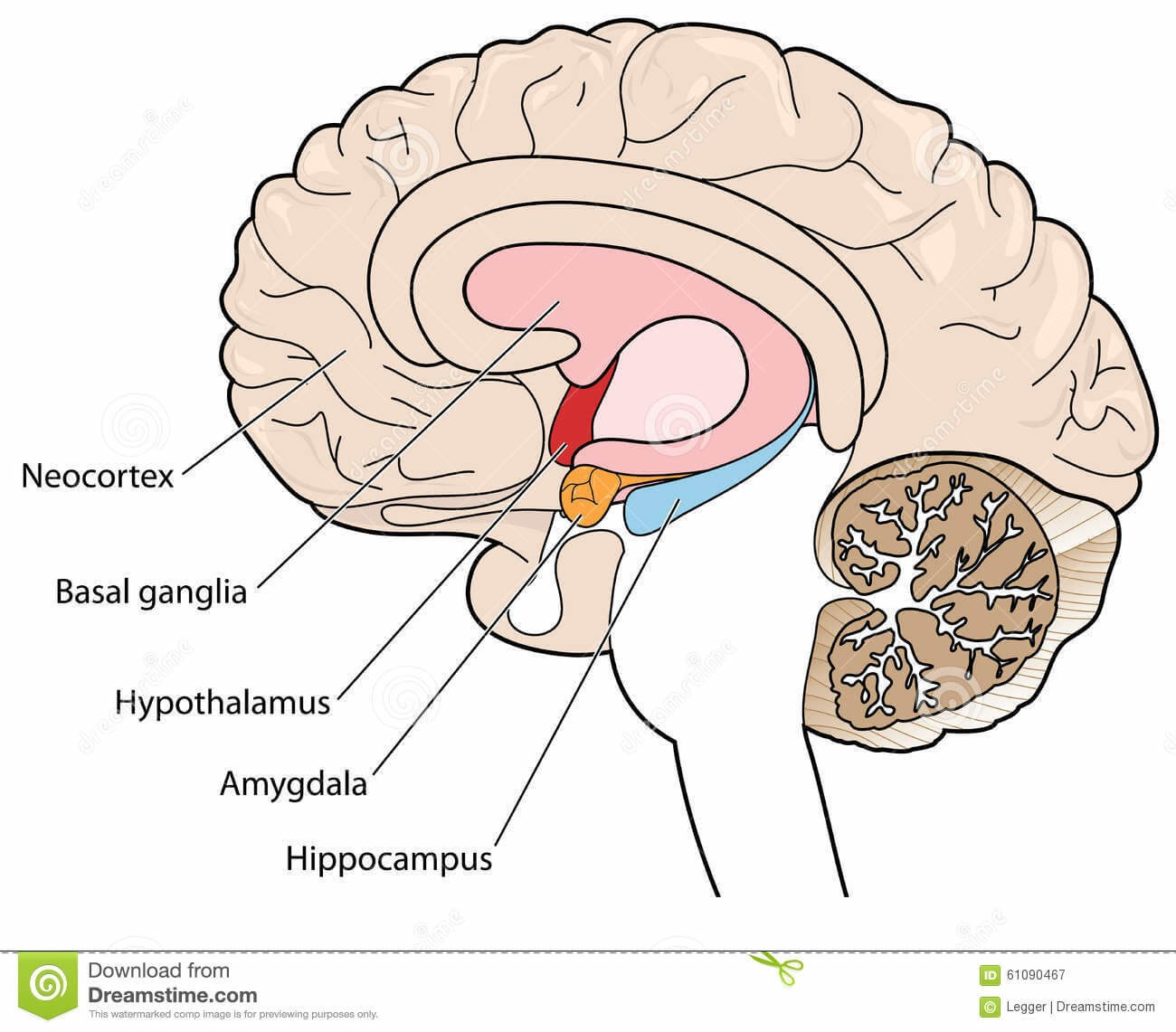 abb 2 brain diagram hippocampus golfclub